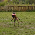 Alfa Canis K9 liga toss fetch